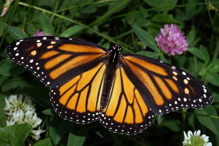 Monarch_In_May_butterfly