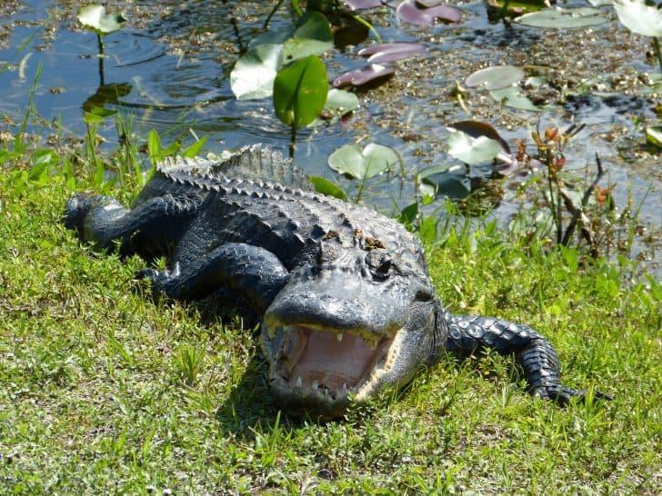 Tf_shark_valley_alligator