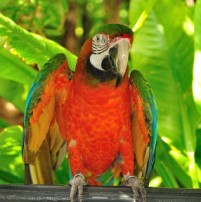 jungle-island-parrot
