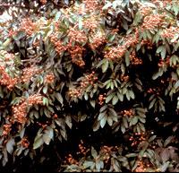 longan-free-trees