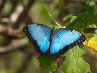 fairchild-Blue Morpho Butterfly